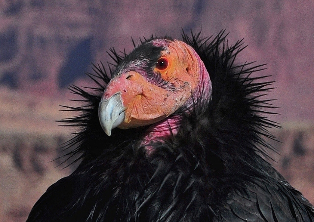 closeup of California condor