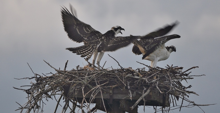 2 osprey in nest