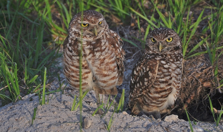 burrying owls