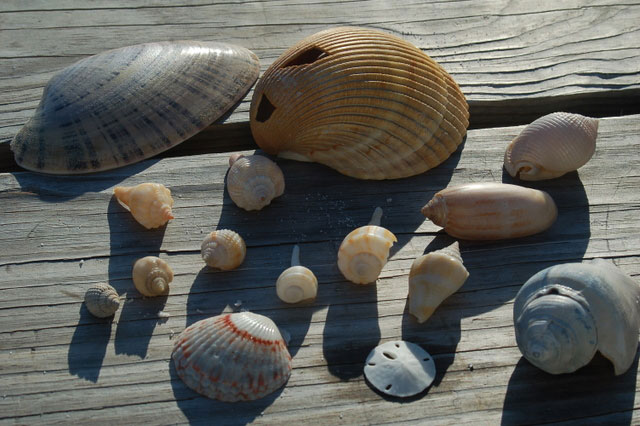 my shell collection from gulf shores