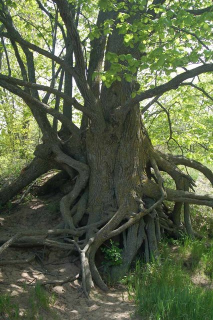 The roots of a basswood tree have been exposed by erosion