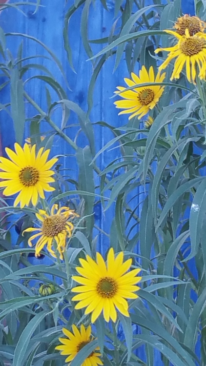 sun flowers on blue gate