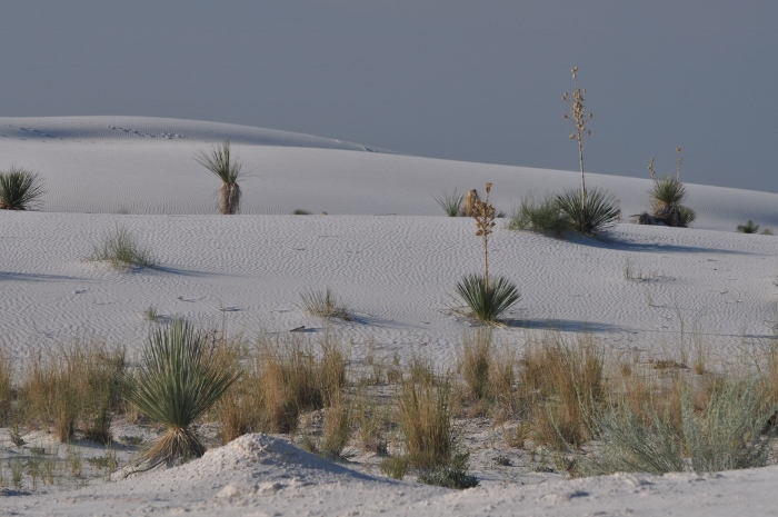 White Sands dunes with plants