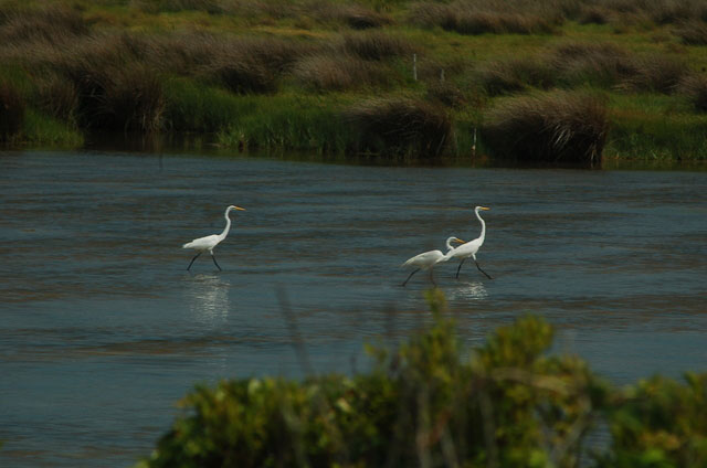 white herons on water