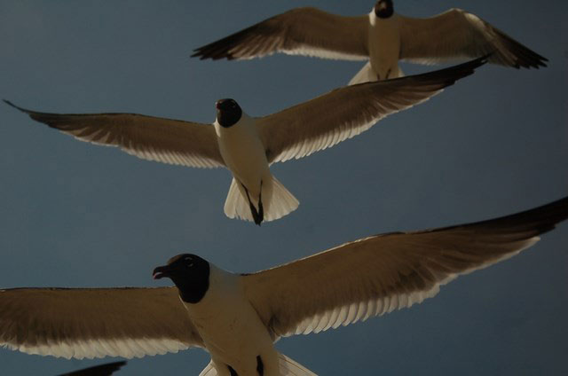 seagulls gather fly overhead for  bread