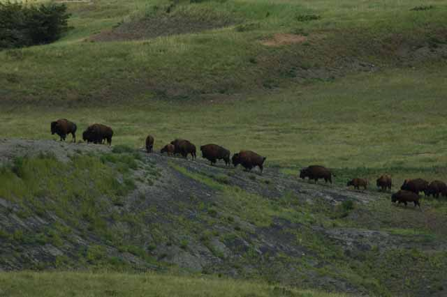 buffalo herd on the Crow Indian Reservation