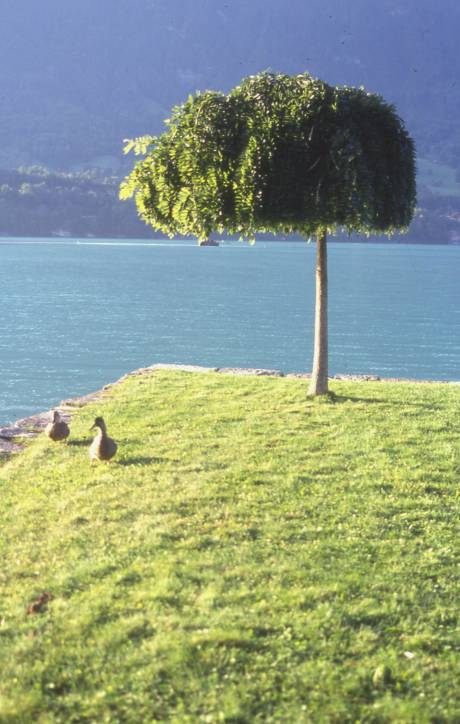 a cute little tree on lake brienz