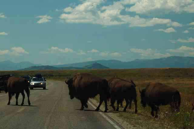 bison on the road