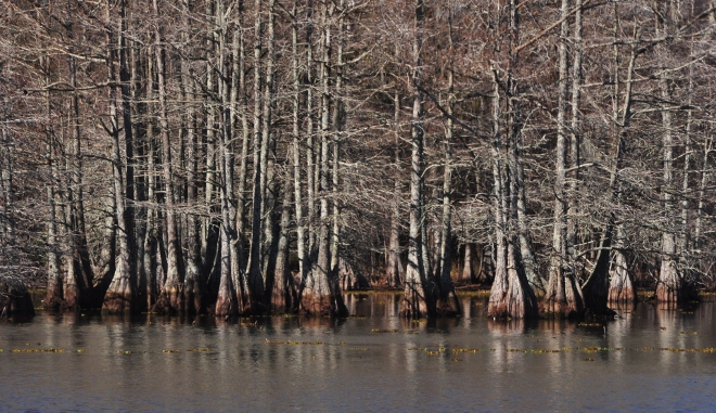 cypress trees in water in east texas