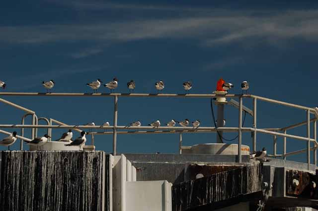Laughing gulls, Galveston-Bolivar ferry