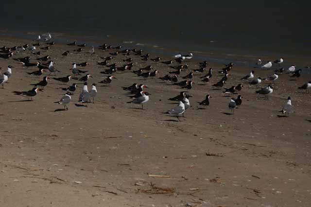 black skimmers and laughing gulls