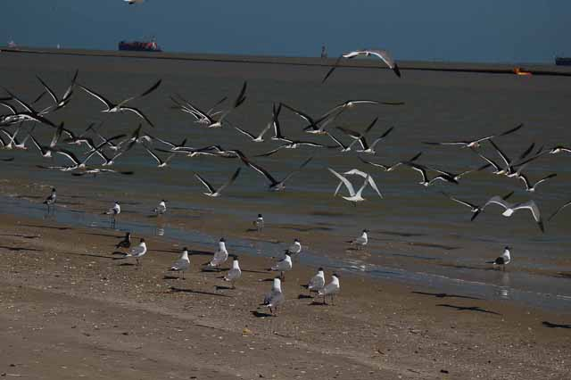 black skimmers and laughing gulls fly