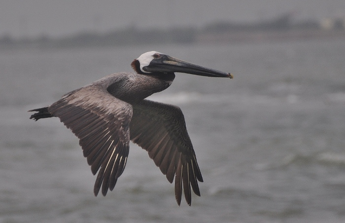 pelican in flight over water