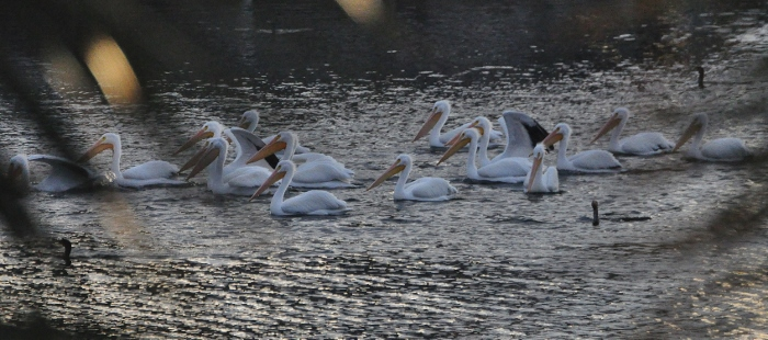 white pelicans on water