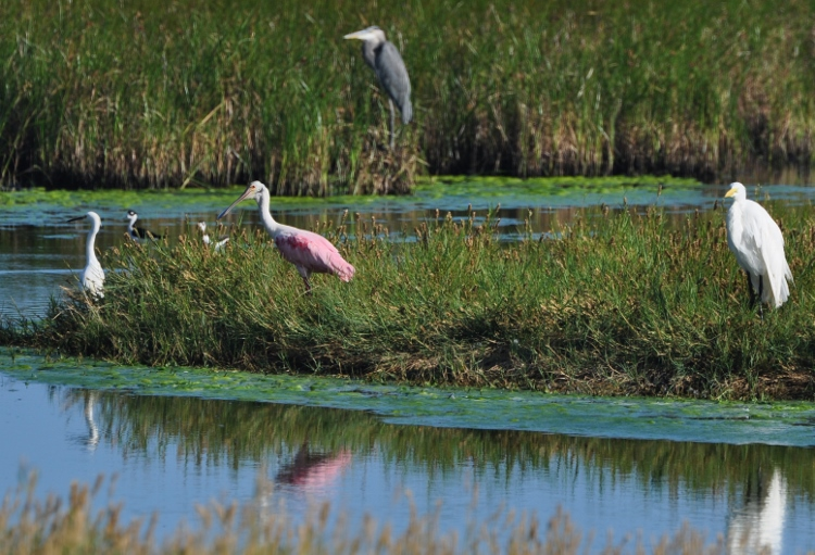 waterbirds in marsh