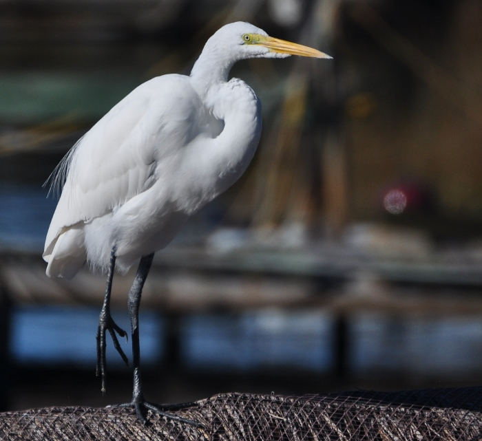 Timmy the egret