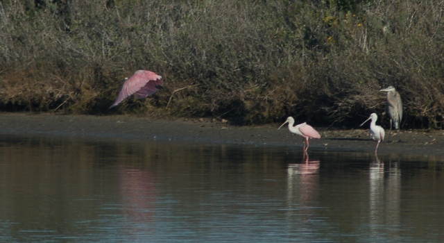 spoonbills and a blue heron in marshland