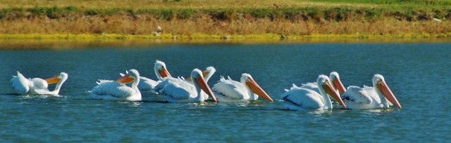 flock of white pelicans