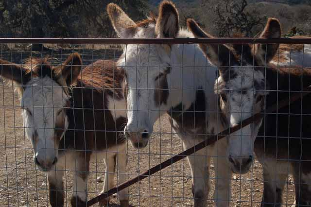 donkeys at Vanderpool