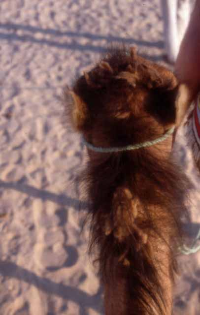 the back of my camel's head