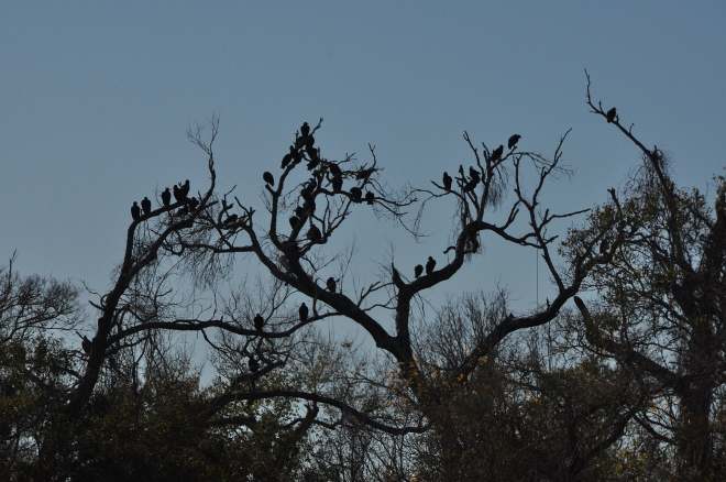 black vultures in trees