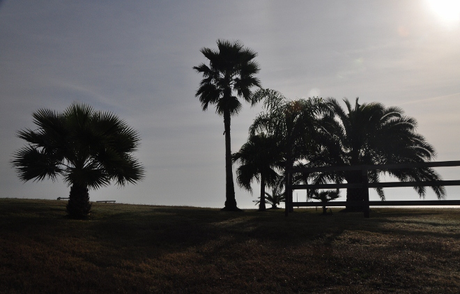palms along Todville Road, Seabrook