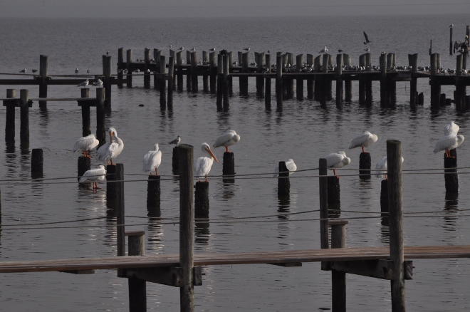 white pelicans on pier pilings in galveston bay