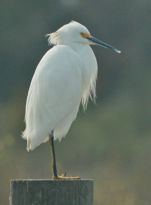 An egret sitting on a post