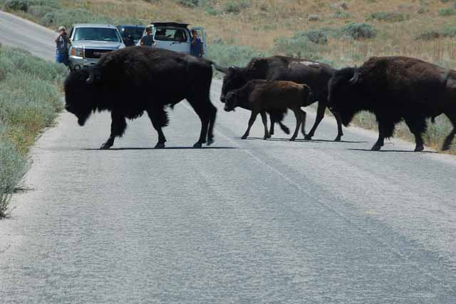 bison head to green pasture