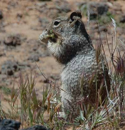 a squirrel finds food in the desert